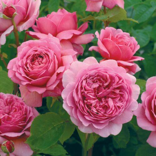 Princess Alexandra of Kent - David Austin angol rózsa