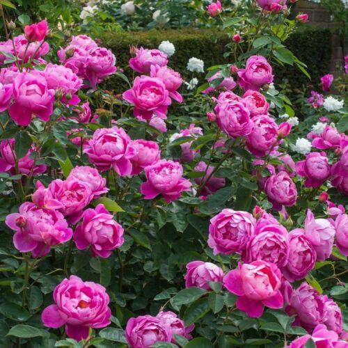 Royal Jubilee- David Austin angol rózsa
