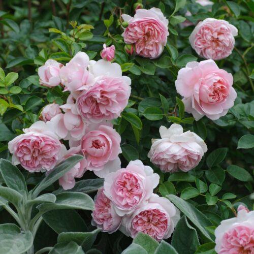 Wildeve- David Austin angol rózsa