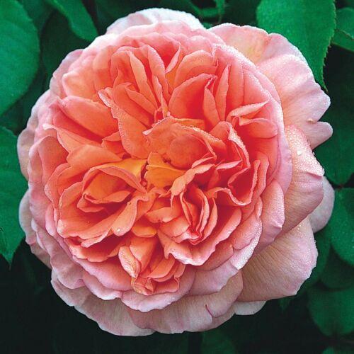 Abraham Darby - David Austin angol rózsa