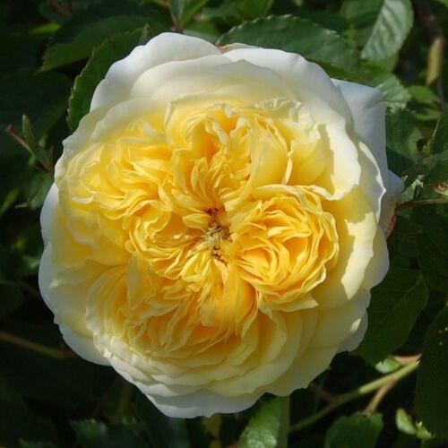 The Pilgrim - David Austin angol rózsa