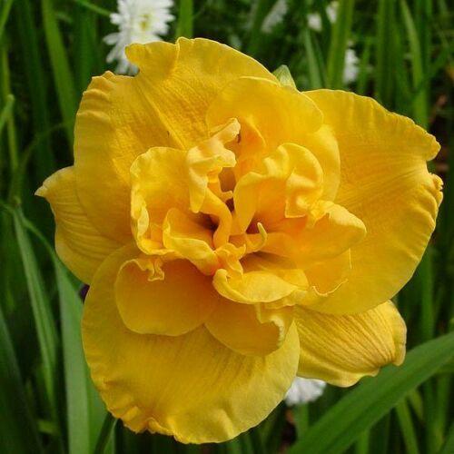 Duplavirágú sásliliom Patricia Jojo