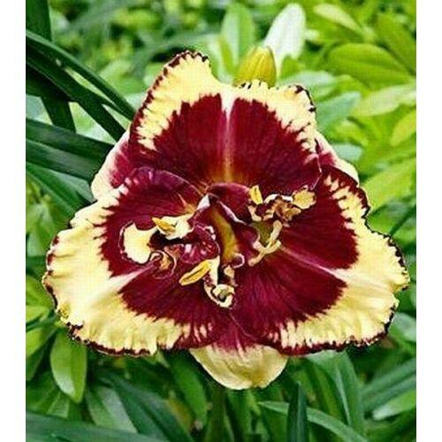 Duplavirágú sásliliom Tiger Blood