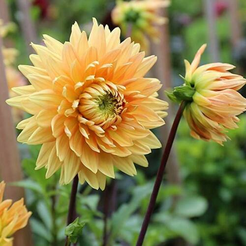 Dália NOORDWIJK GLORIE (óriás virágú)