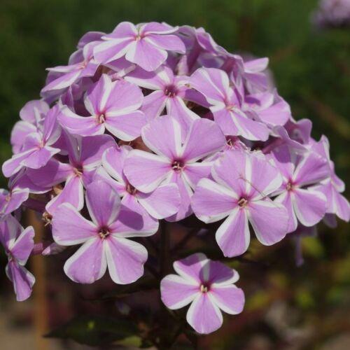 Bugás lángvirág (phlox) - ALL IN ONE