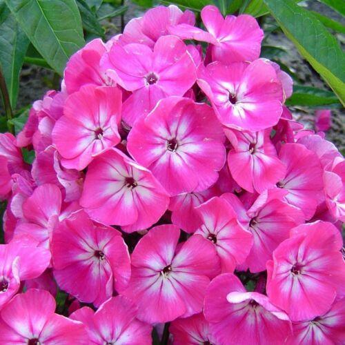 Bugás lángvirág (phlox) - RÓZSASZÍN