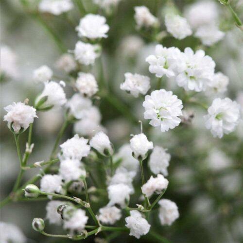 Fátyolvirág (Gypsophila) - FEHÉR