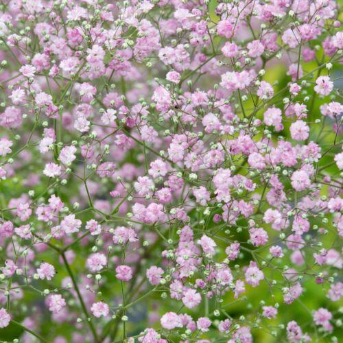 Fátyolvirág (Gypsophila) - PINK