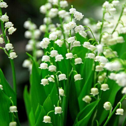 Gyöngyvirág (Convallaria majalis, Mérgező!)