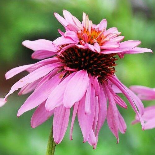 Kasvirág (Echinacea) - DOUBLE DECKER