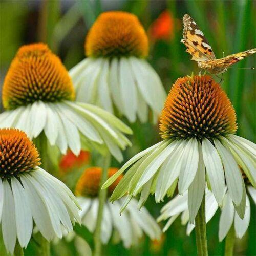 Kasvirág (Echinacea) - WHITE SWAN