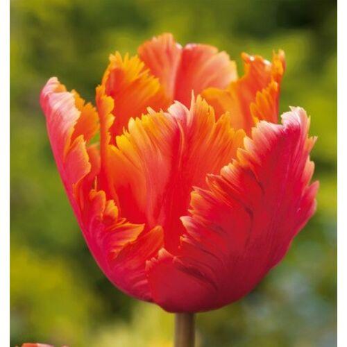 Tulipán - AMAZING PARROT