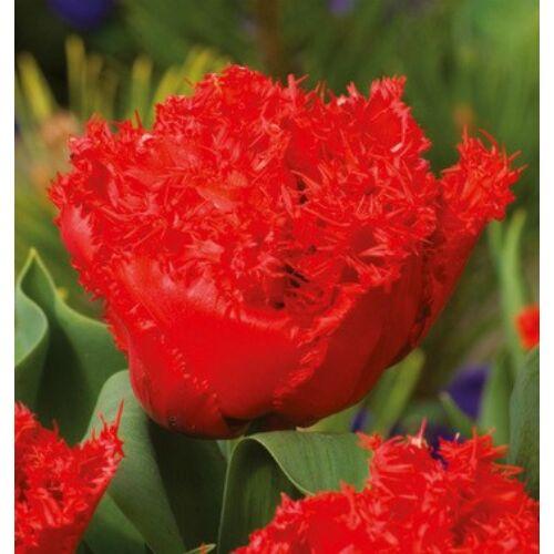 Tulipán - ANIFIELD