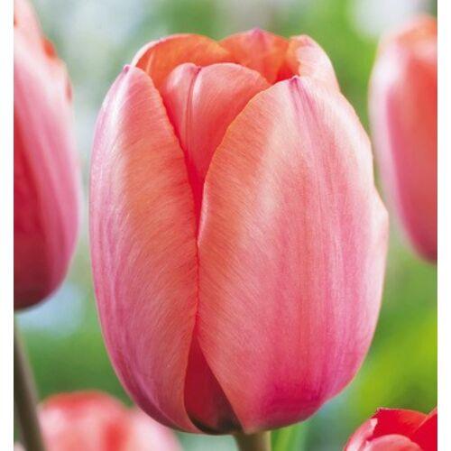 Tulipán - APRICOT IMPRESSION