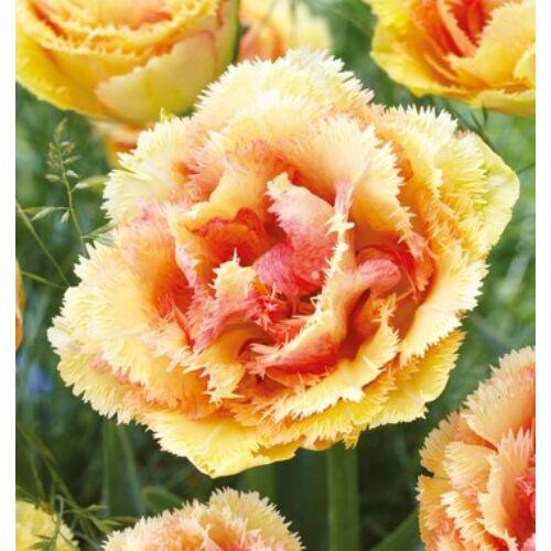 Tulipán - BRISBANE