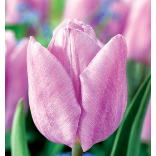 Tulipán - CANDY PRINCE