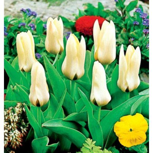 Tulipán - CONCERTO