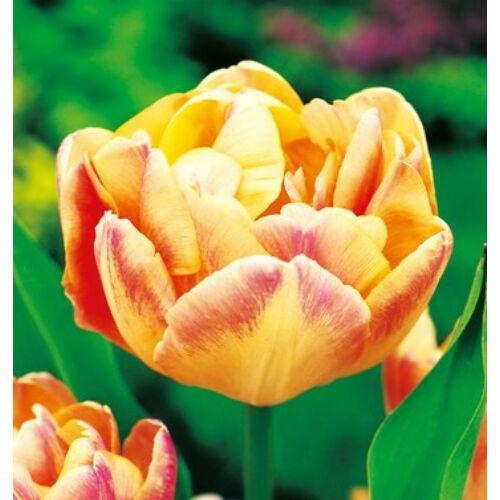 Tulipán - CREME UPSTAR
