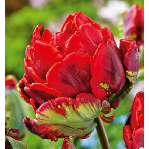 Tulipán - DOUBLE ROCOCO