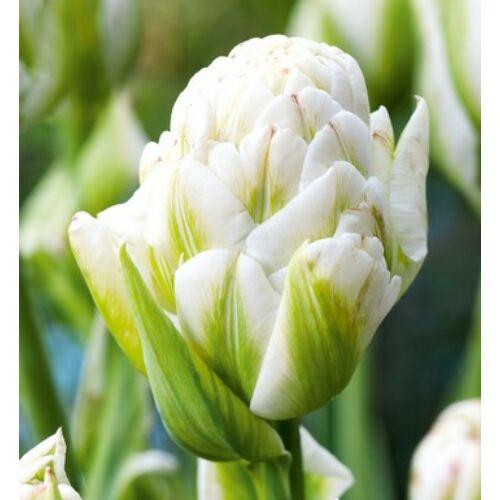 Tulipán - HARBORLIGHT