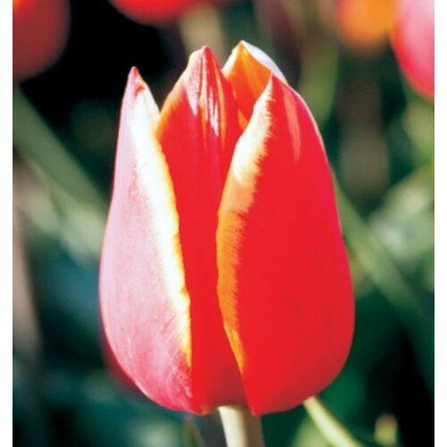 Tulipán - LUBA