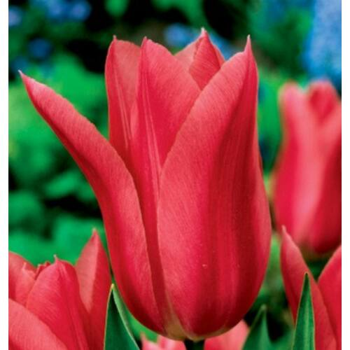 Tulipán - MARIETTE