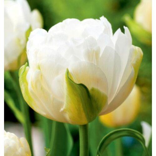 Tulipán - MAUREEN DOUBLE