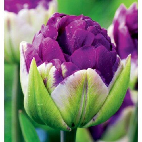 Tulipán - NEGRITA DOUBLE