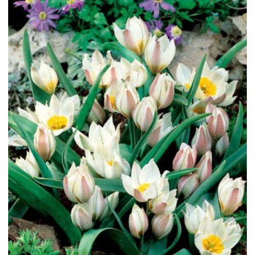 Tulipán - POLYCHROMA