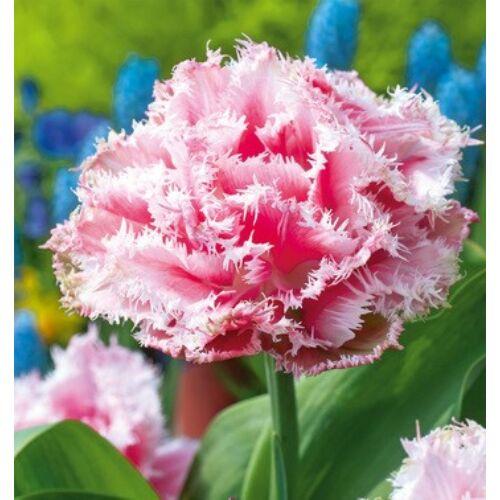 Tulipán - QUEENSLAND