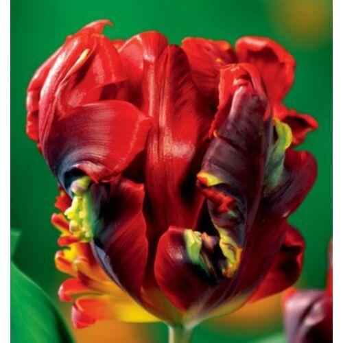 Tulipán - ROCOCO