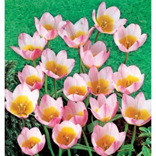 Tulipán - SAXATILIS
