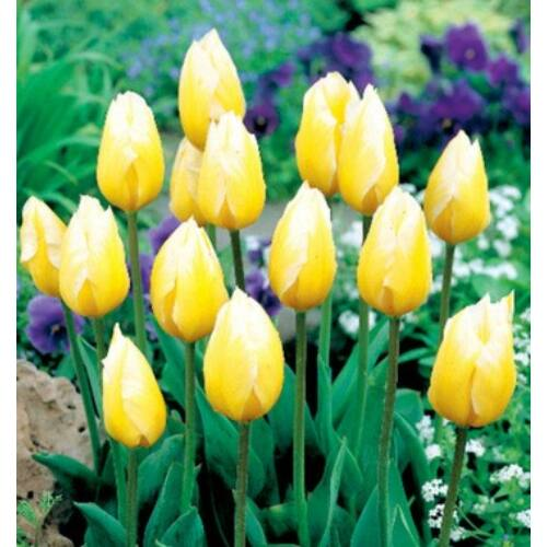 Tulipán - SWEET HEART