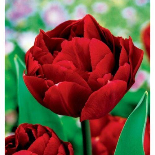 Tulipán - UNCLE TOM