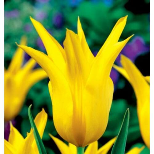 Tulipán - WEST POINT