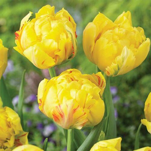 Tulipán - YELLOW MARGARITA