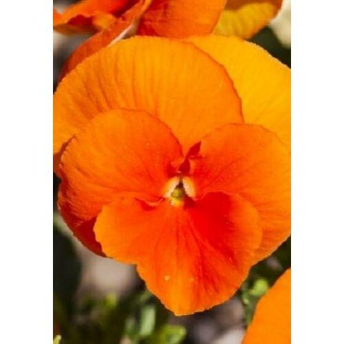 Árvácska (Viola cornuta), 'Chantreyland'