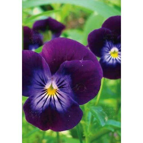 Árvácska (Viola cornuta), 'Prince Henry'