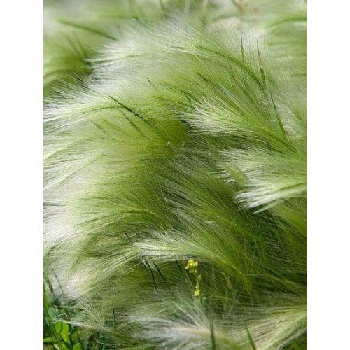 Árvalányhaj (Stipa tenuissima), 'Pony Tails'