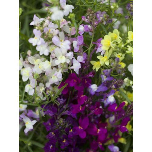 Gyújtoványfű (Linaria maroccana), 'Fairy Bouquet' színkeverék