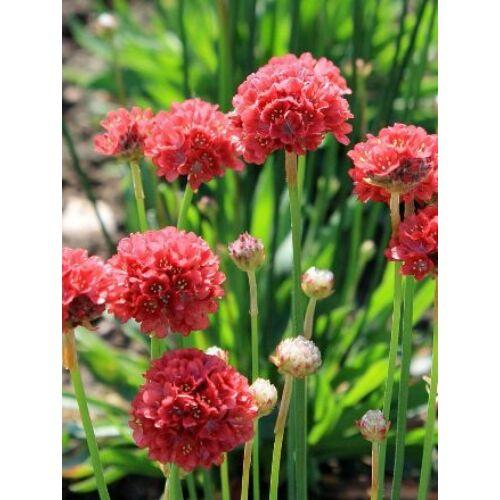 Pázsitszegfű (Armeria pseudoarmeria), 'Ballerina' Series, Red