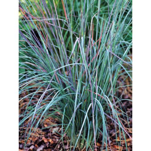 Prérifű (Schizachyrium scoparius), 'Prairie Blues'