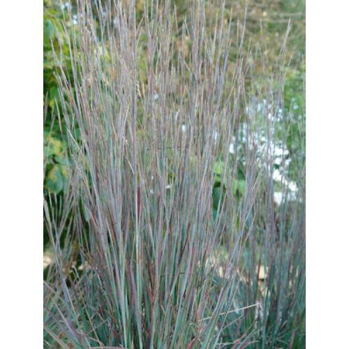 Prérifű (Schizachyrium scoparius)