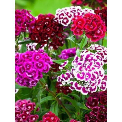 Szegfű (Dianthus barbatus), 'Auricula Eyed Mixed'