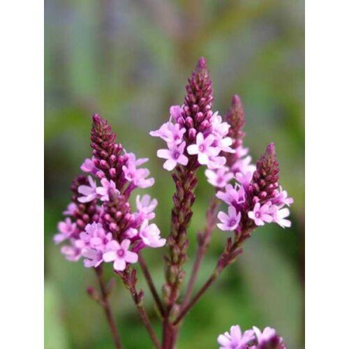 Verbéna (Verbena hastata), 'Pink Spires'