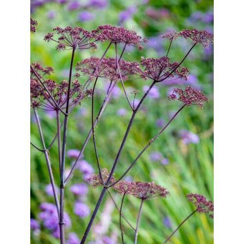 Angyalgyökér (Angelica sylvestris purpurea), 'Vicar's Mead'