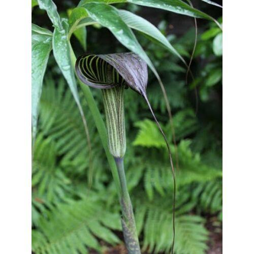 Arisaema ciliatum (Kobraliliom)