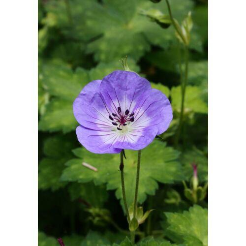 Geránium (Geranium wallichianum), 'Buxton's Blue'