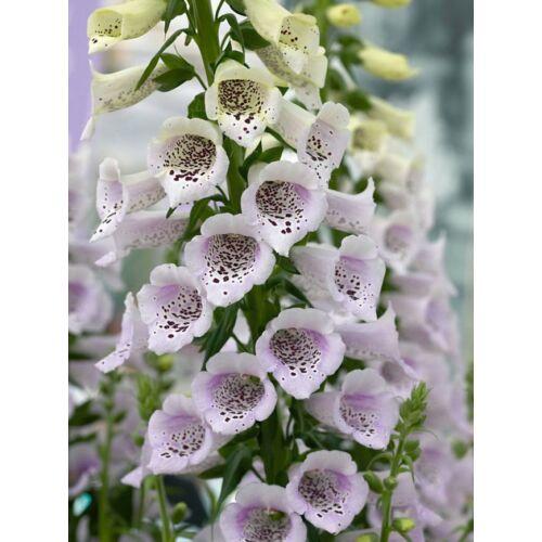 Gyűszűvirág (Digitalis purpurea),  'Camelot Lavender'