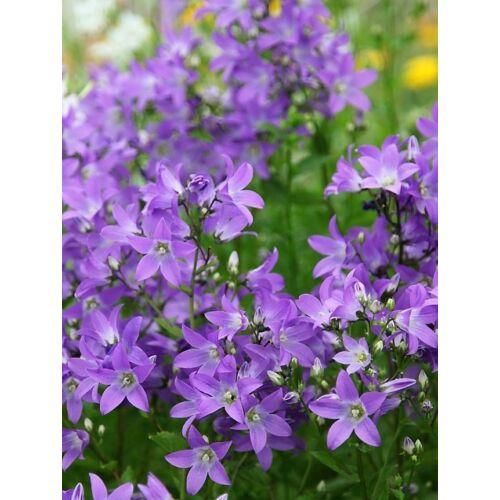 Harangvirág, nagytermetű (Campanula lactiflora), 'Prichard's Variety'